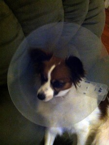 The cone of shame. Poor baby...