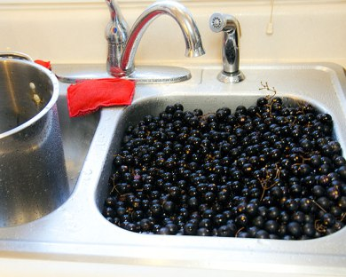 Noble Muscadines in the sink.