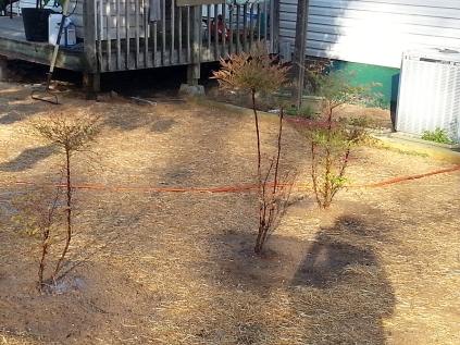 The Nandina/Heavenly Bamboo area...